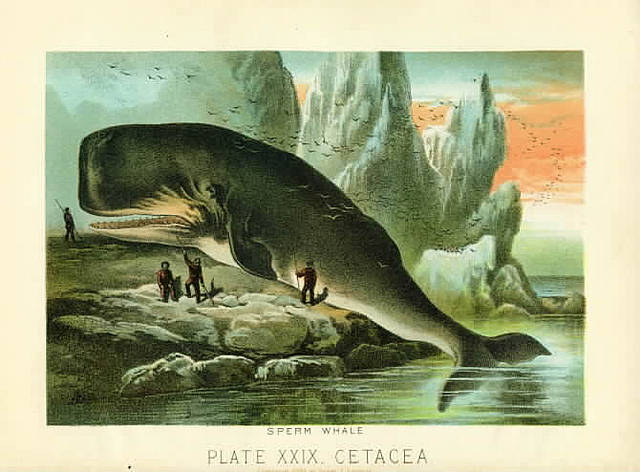 Illustrations Sperm whale