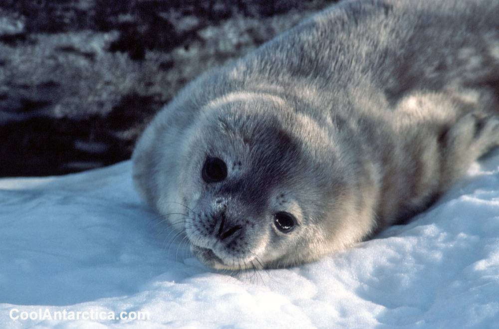 Weddell seal Pup 5 - Free use pictures of Antarctica