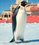 Rarely spotted giant emperor penguin approaches supply ship - photo courtesy NOAA