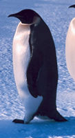 "emperor penguin showing the use of tail as part of the ""tripod"" - photo courtesy NOAA"