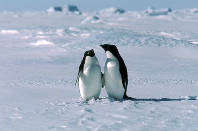 Adelie penguins on sea-ice