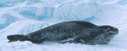 Leopard seal resting on an ice floe