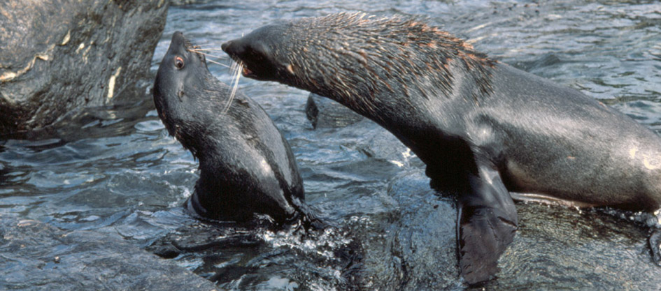 juvenile fur seals